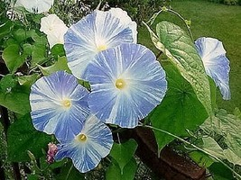 SHIP FROM US 50 Blue & White FLYING SAUCERS MORNING GLORY Flower Vine Se... - $12.00