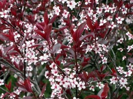 1 Plant Purple Leaf Sand Cherry Tree Flowering Rooted in 1 Gallon Pot - $54.99