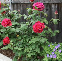 Rose Cuttings (3) of Rosa 'Mister Lincoln' Ready to root Make Your Own P... - $3.00