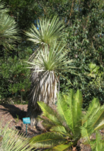 5 Pcs Seeds Yucca Thompsoniana Hardy Exotic Tree - DL - $16.00