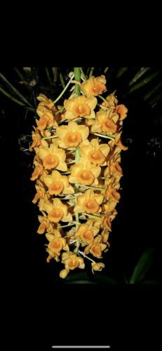 ~WHOPPER~ Dendrobium Densiflorum Species Orchid Plant :: :: ;;