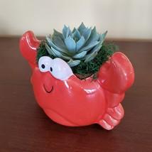 "Ceramic Crab Planter with Succulent, live plant, 4"" red pot image 4"