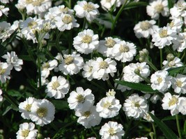 SHIPPED FROM US 300 Pearl Yarrow Achillea Ptarmica Pearl Flower Seeds, LC03 - $15.00