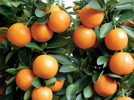 "Seedling Starter 3""-6"" Kumquat Trees Real Live Plant Citrus Fruit Landsc... - $45.99"