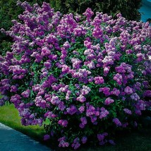 """EIGHT (8) Plant of 9-14"""" - Potted Plant Purple Old Fashion Lilac Bush - ... - $144.43"""