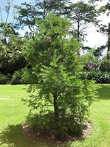 10 pcs/pkt Yunnan Youshan Tree Seeds For Planting - $27.72