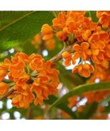 Red Sweet Olive - Osmanthus fragrans 5 seeds fragrant  - $5.25