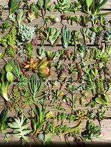 30 or 50 Assorted Succulent & Cactus Cuttings. Great for Terrariums, Mini Garden image 3