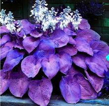 bonsai hot sale Bonsai 100seeds/pack Hosta Perennials Plantain Lily Flower - $2.99