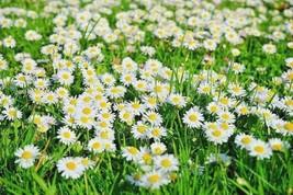 300+CREEPING SNOW DAISY Flower Seeds FAST GROWING GROUDCOVER Butterflies... - $2.50
