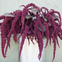 Hopi Red Dye Organic Amaranthus Seed / FLOWER SEEDS/  Amaranthus FLOWER ... - $12.00
