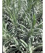 Lavender Phenomenal 4 starter plants free shipping - $17.75