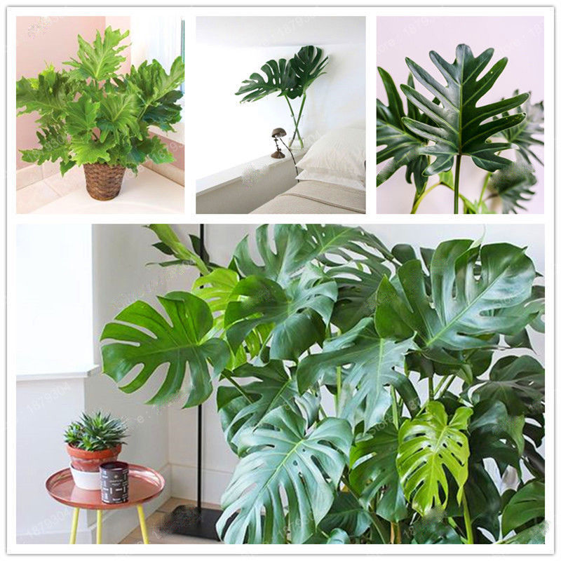 200pcs Philodendron tree seed Perennial and 50 similar items