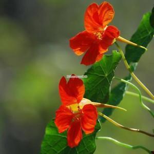 50 STÜCKE Mix Farbe Tropaeolum Majus Samen Creeper Pflanze Bonsai ElR8 01