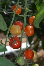BEST PRICE 100 Seeds Red Strawberry Shaped Tomato,DIY Vegetable Seeds E4... - $4.99