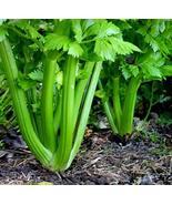 100 Seeds Tall Utah Celery Crunchy and Stringless TkPaynean - $63.36