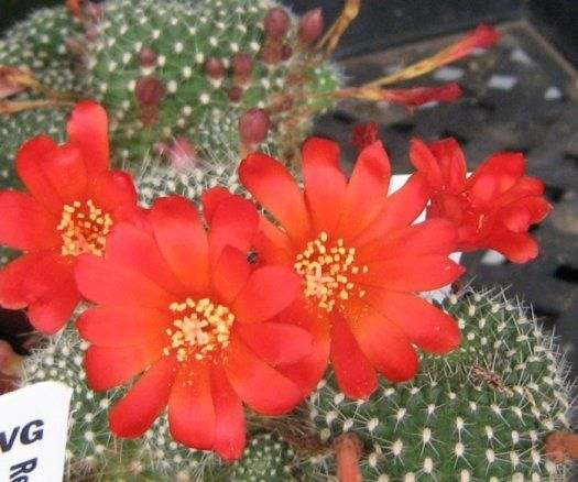 Rebutia krainziana Soft Spine Clumping Heads Great Red Frequent Flowers 22