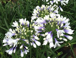 Agapanthus Twister Quart Plant Rare Find Plant FREE SHIPPING - $24.74