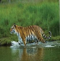 Tiger Wild Safari Animal Fabric Shower Curtain Cat Grassland River Natur... - $39.19