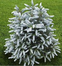 7 Year PLANT of Abies Koreana Silver Show - $356.40