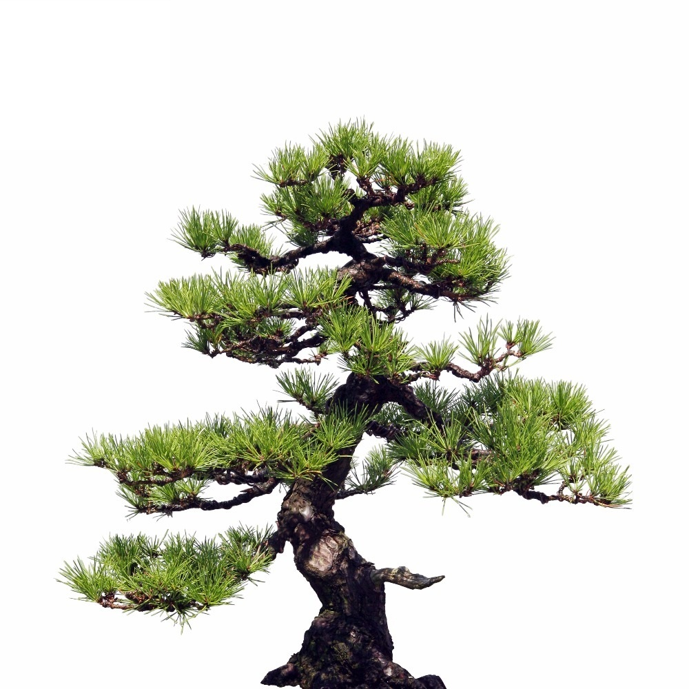 35 pcs Japanese Pine Tree Seeds Bonsai Flower Easy Growing ...