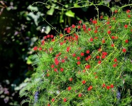 SHIP From US,50 Seeds Cypress Vine (Hummingbird Vine), DIY Beautiful Flo... - $24.99