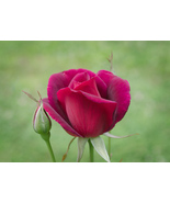"""Mama's Rose,"" an A. Rose Designs note card - $5.95+"