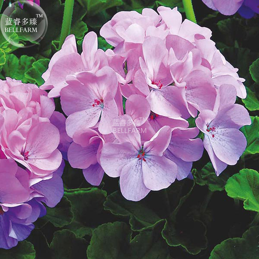 BEST PRICE 10 Seeds BELLFARM Geranium Lavender,DIY Decorative Plant E4438U DG