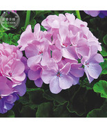 BEST PRICE 10 Seeds BELLFARM Geranium Lavender,DIY Decorative Plant E4438U DG - $5.99