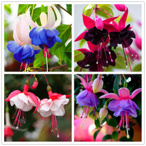 200 pcs/bag fuchsia seeds, potted plant Lantern Begonia seeds for home g... - $5.02
