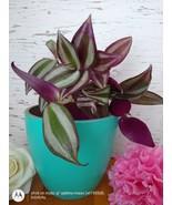 Wondering Jew Live Plant, Purple Heart plant CUTTING, LIVE PLANT - $13.86