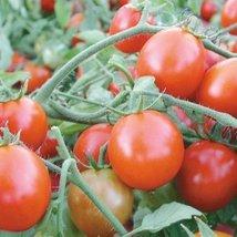 1/8 Gram Organic Seeds of Oregon Cherry Tomato Organic - $23.27