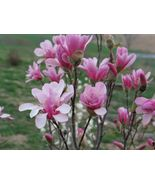 "3 Plants in 3.5"" Pots Magnolia Leonard Messel Tree Established Roots  - $51.49"