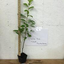 SPICE BUSH Pond Berry- (Lindera melissifolia) image 3
