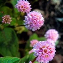 SHIP FROM US 50 Pinkhead Smartweed Ground Cover Seeds, UTS04 - $11.98