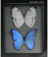Perfect Couple Giant Morphos Godarti & Polyphemus Real Butterflies Entom... - €100,21 EUR+