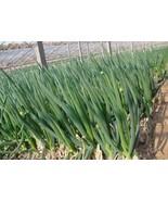 "Chinese Green Onion Fresh Vegetables Welsh Onion Scallion 1000 Seeds GIM "" - $16.00"