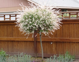 "Japanese Dappled Nishiki Willow 4"" pot shrub/tree image 2"