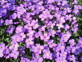 8,500 Seeds - Purple Rockcress - Stunning Violet Flower Rock Cress - $16.83