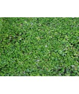 Bulk Duckweed for KOI Fish Ponds (100, 500, 1000 and up to 3 pounds) - $5.94+