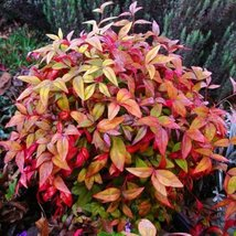 5 Seeds of Nandina Domestica Moyers Red Heavenly Bamboo - $16.83