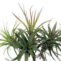 5 Airplants Tillandsia Bareroot Houseplant - $33.00