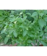 1000 Lemon Basil Seeds~Organic Heirloom- High Quality, Untreated Seed - $5.50
