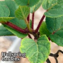 SHIP FROM US Tomuri Male Hardy Kiwi Fruit Plant - Edible Fruit Vine WSP2 - $32.00