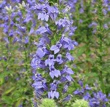 """100 Seeds Great Blue Lobelia """"Lobelia Siphilitica"""" - $6.93"""