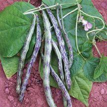 Rattlesnake snap pole Beans bulk fresh preacher Drought resistant Snap 10Seeds - $19.80
