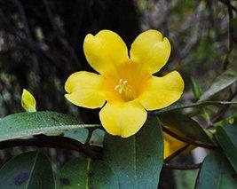 5 Carolina Jasmine Seeds - $19.96