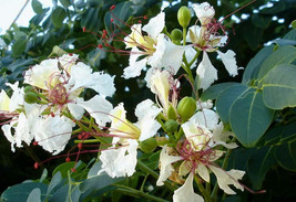 10 Delonix decaryi Seeds, Flamboyant Tree Seeds, Poinciana Seeds - $8.95