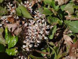 ALLEGHENY  SPURGE 10 roots ,(Pachysandra procumbens) image 7