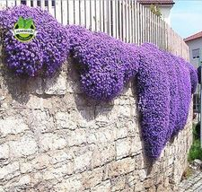 100 Aubrieta Seeds - Cascade Purple FLOWER SEEDS, Superb perennial ground cover - $2.00